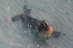 Sammy the Seal.  A local legend!